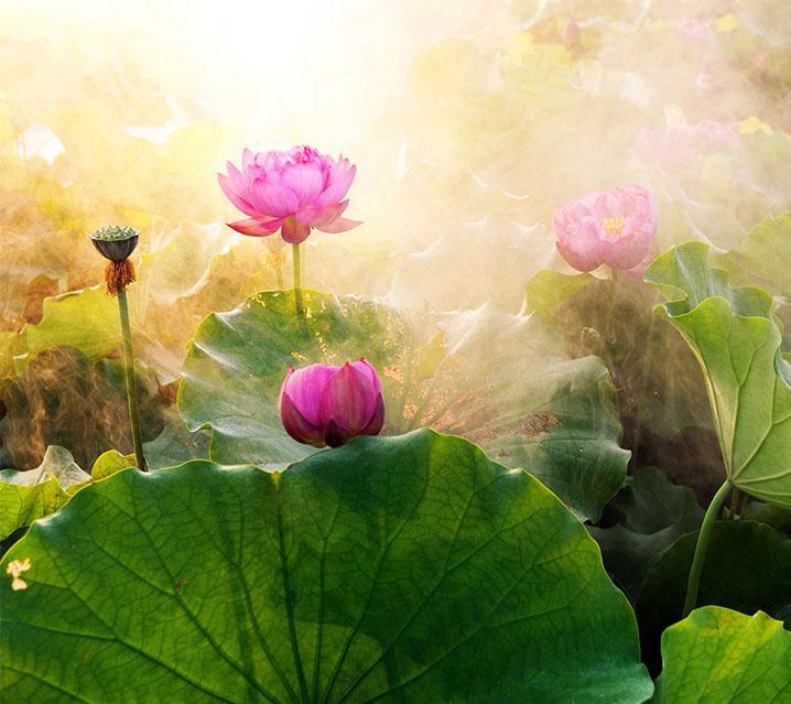 Thérapie psycho-corporelle, Joëlle Le Goff, thérapeute spécialisée en biodynamique, illustration jardin de lotus en floraison